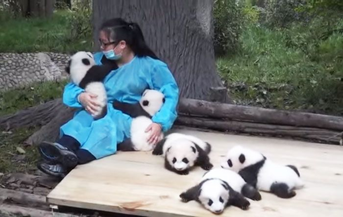 There Are People In China That Get To Hug Pandas For A Living (3 pics)