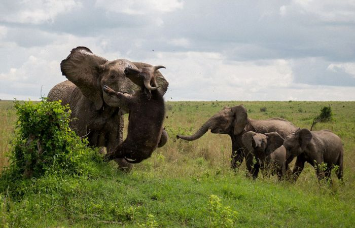 Massive Elephant Destroys Big Buffalo For Getting Too Close (5 pics)