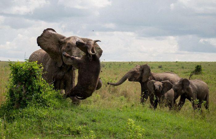 Massive Elephant Destroys Big Buffalo For Getting Too Close (5 pics)