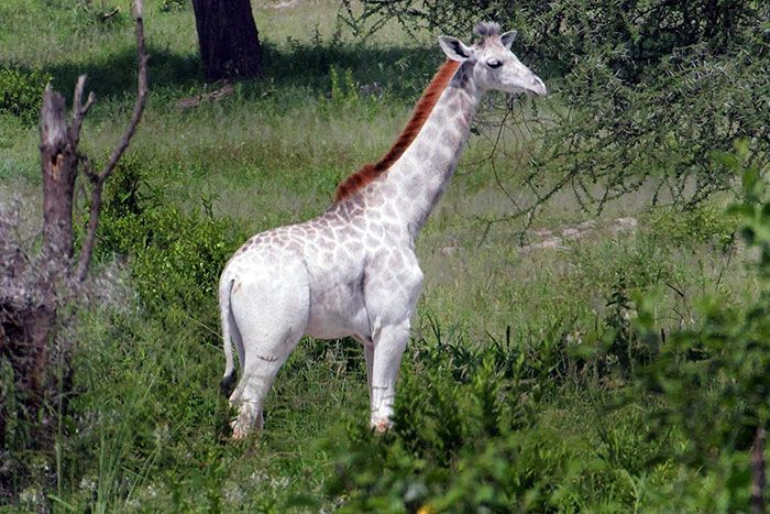 Stunning White Giraffe Found In Tanzania (3 pics)