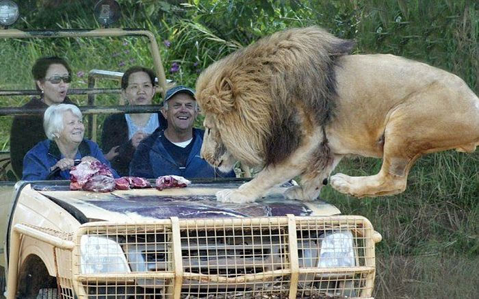You Better Have Nerves Of Steel If You're Going To Get This Close To A Lion (4 pics)