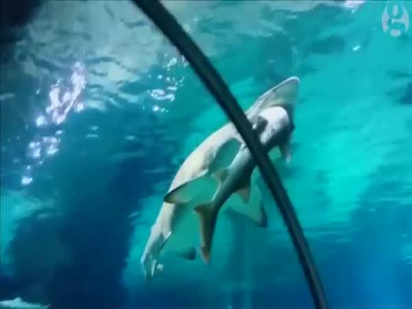 Shark Eats Shark In South Korean Aquarium