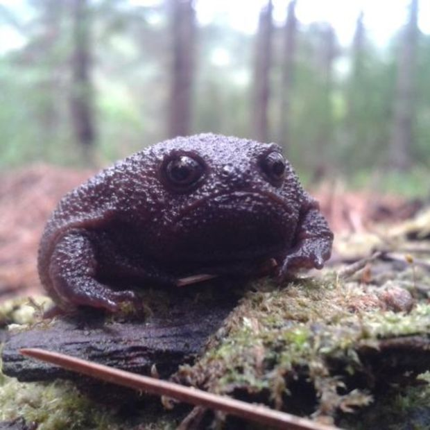 The Black Rain Frog Is The Grumpy Cat Of Frogs (4 pics)