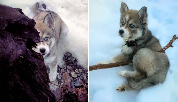 Rescued Husky Saves Woman From An Abusive Relationship (26 pics)
