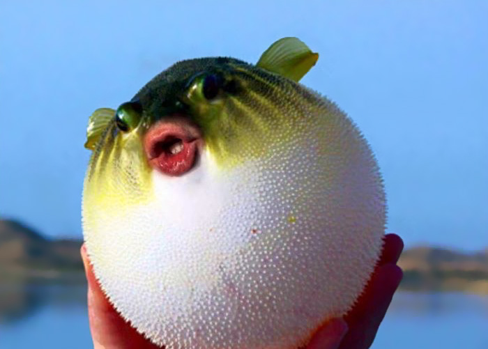 It Turns Out That Donald Trump's Mouth Fits Perfectly On Pufferfish (12 pics)