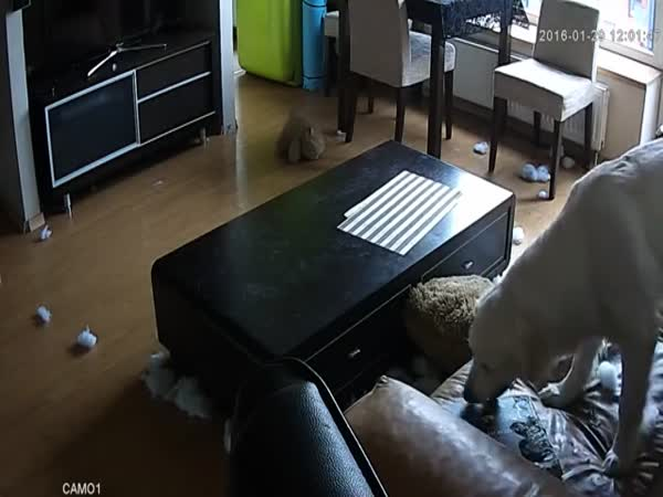 Golden Retriever Destroys The Flat