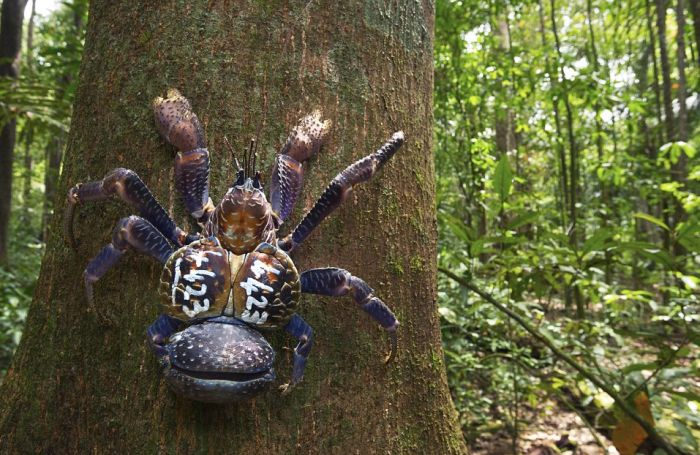 You Will Be Terrified When You See What A Coconut Crab Looks Like (2 pics)