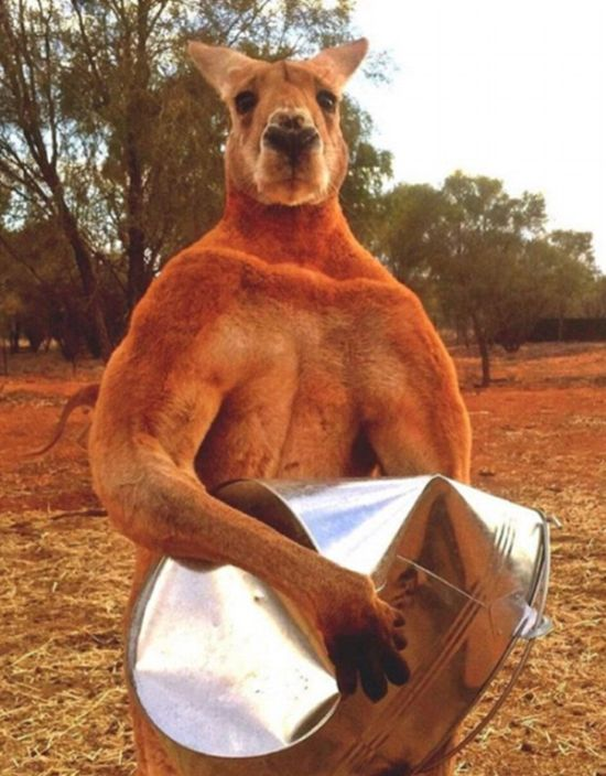 Meet Roger, The Most Muscular Kangaroo On The Planet (9 pics)