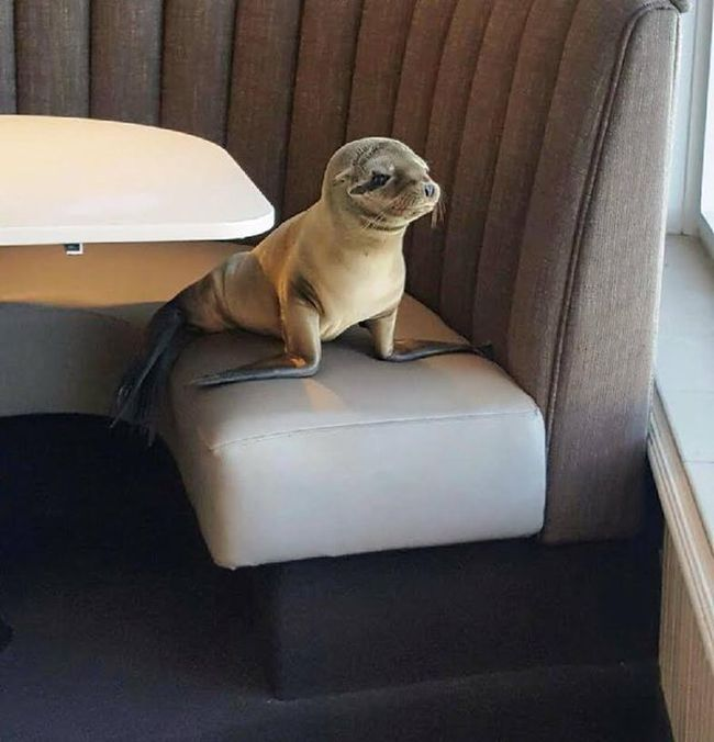 Sea Lion Stops By For Breakfast At The Marine Room (4 pics)