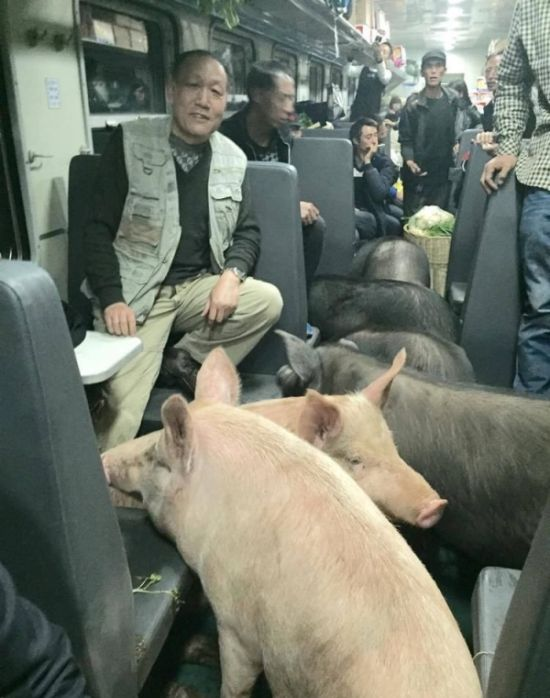Pigs Can't Fly But They Do Ride Trains (6 pics)