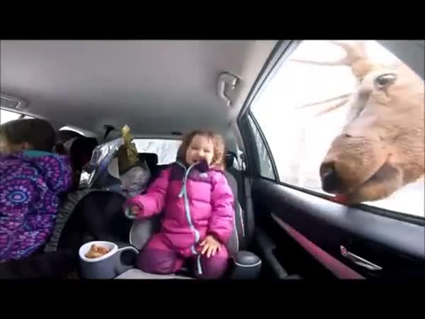 Huge Elk Eats A Titbit From A Little Girls Hand Through A Car Window