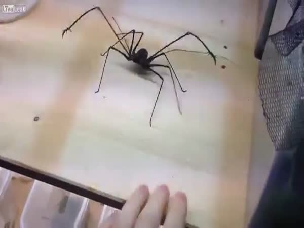 Playing With A Whip Spider And Getting Bitten