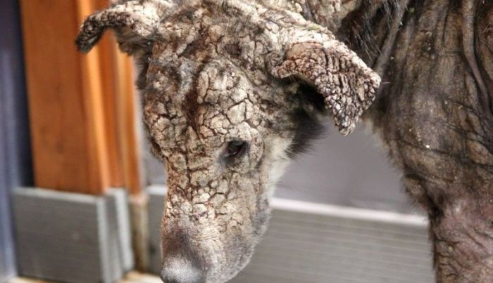 Dog With Face Of Stone Gets A New Home And A New Life (8 pics)