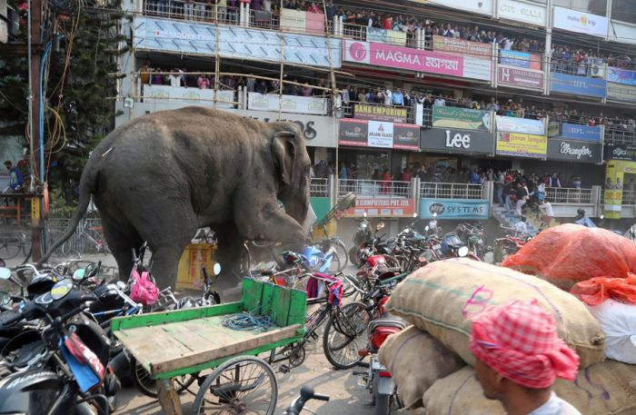 Wild Elephant Marches Through The Streets Of India (6 pics)