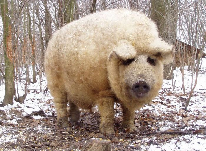 These Fuzzy Creatures Look More Like Sheep Than Pigs (7 pics)
