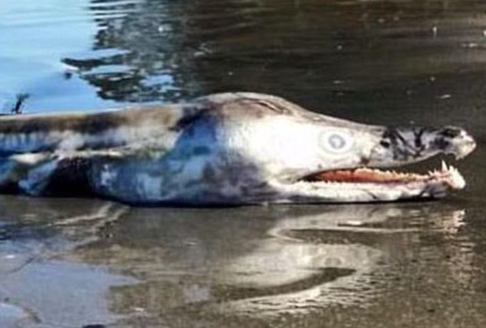A Bizarre Looking Sea Creature Recently Washed Up On The Shores Of Australia (2 pics)