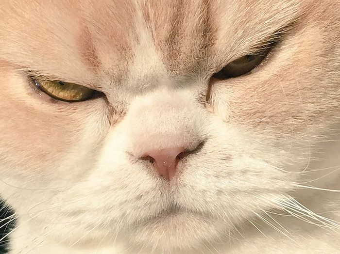 The Japanese Grumpy Cat Is Even More Miserable Than The Original (14 pics)