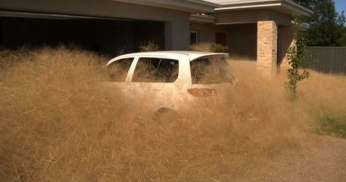 This Australian Town Is Being Taken Over By Panic Grass (7 pics)