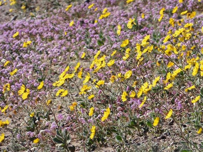 Death Valley Is Home To Some Of The Most Beautiful Flowers (17 pics)