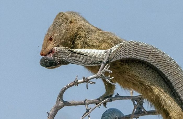 Mongoose Takes Down A Snake And Eats Him For Lunch (8 pics)