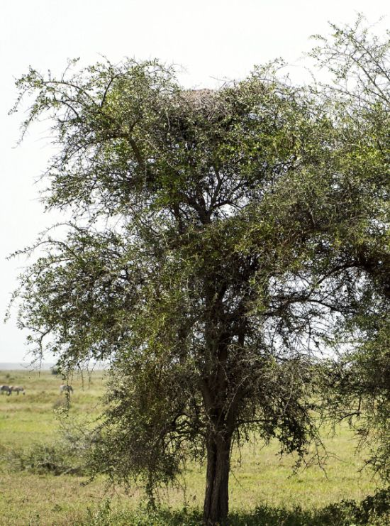 Can You Find The Leopard In This Tree? (4 pics)