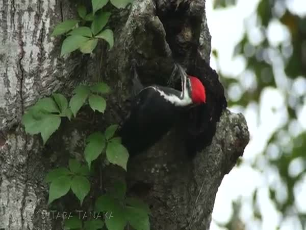 Timelapse Of A Pileated Woodpecker Creating A Cavity