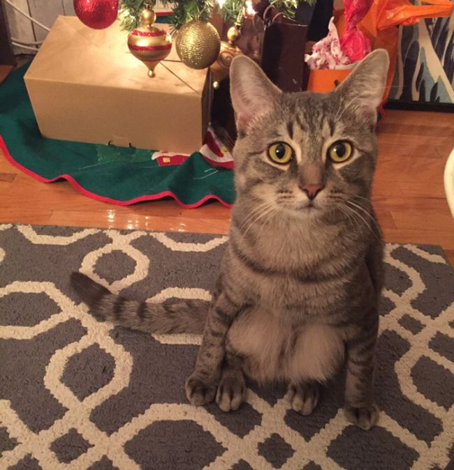 These People Adopted A Cat That Sits Like A Human (3 pics)