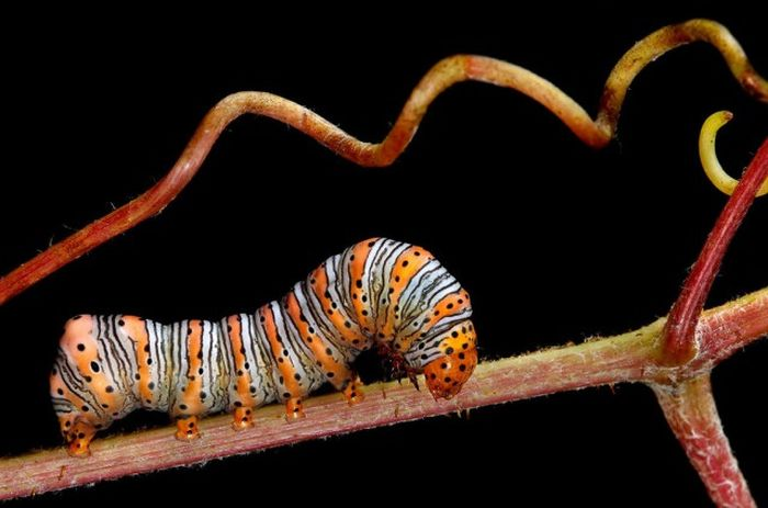 Caterpillars Are Some Of The Coolest Creatures On Earth (22 pics)
