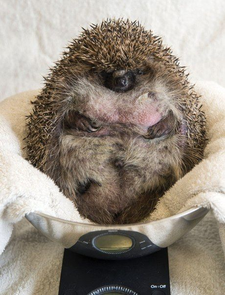 This Overweight Hedgehog Had To Be Put On A Diet (3 pics)