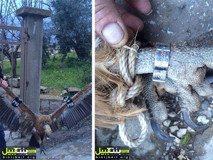 A Vulture In Lebanon Is Suspected Of Being A Spy (3 pics)