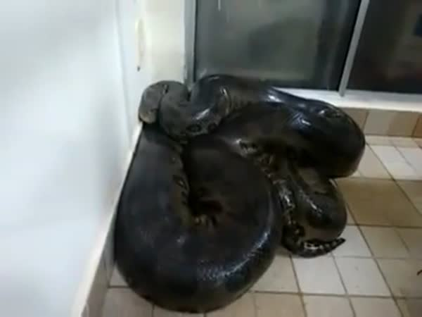 Guy Tries To Pet A Huge Anaconda In His Kitchen