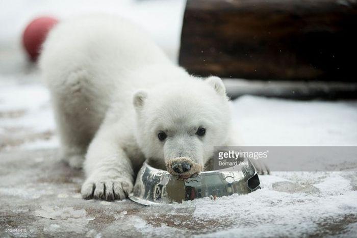 This Tiny Polar Bear Looks So Cute When He Gets Fed (6 pics)
