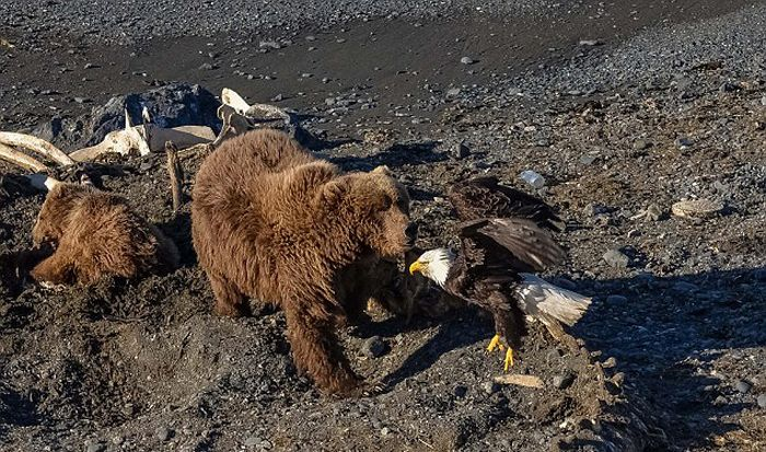Eagle Gets Into A Fight With The Wrong Animal (6 pics)