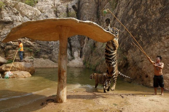 Thailand Has Its Very Own Tiger Temple (8 pics)