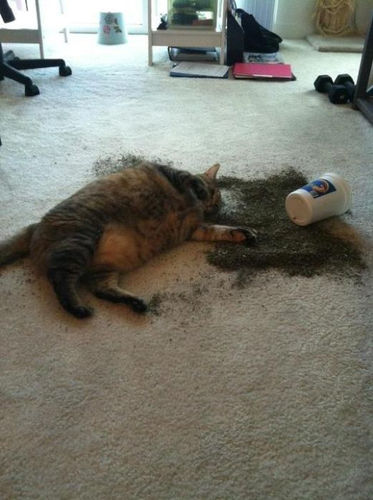 Cats That Got A Taste Of Catnip And Couldn't Get Enough (26 pics)