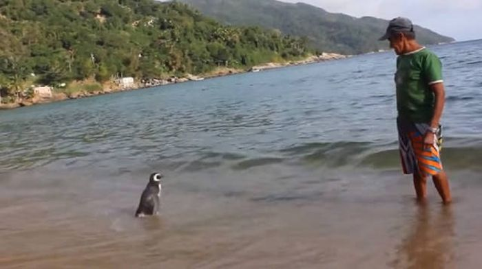 Every Year This Penguin Swims 8,000 Kilometers To See One Man (5 pics + video)