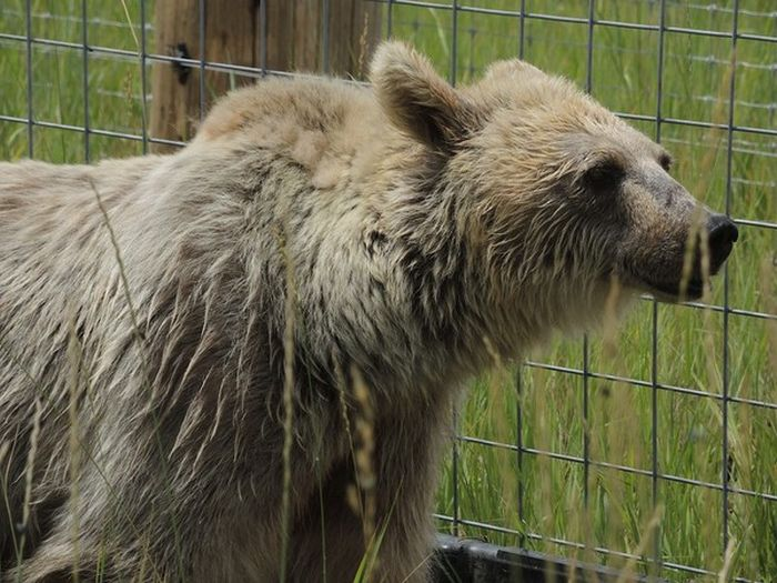 Bear Goes Through Drastic Changes After Being Released From The Zoo (11 pics)