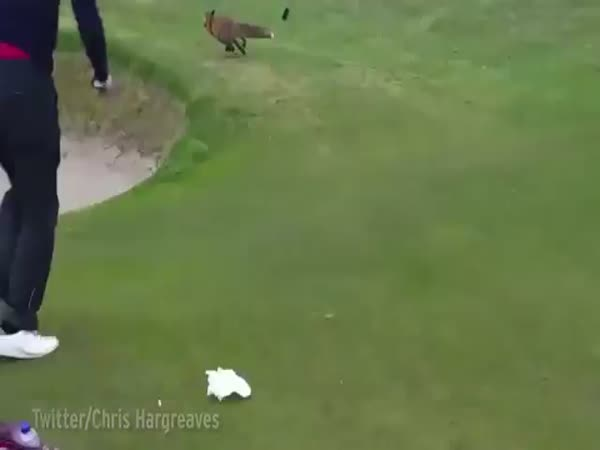 Quick Witted Fox Caught On Camera Stealing Golfers Wallet From Bag While On Links Course