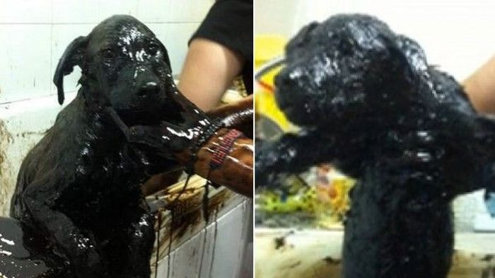 Dog Survives After Being Rescued From A Tar Pit (9 pics)