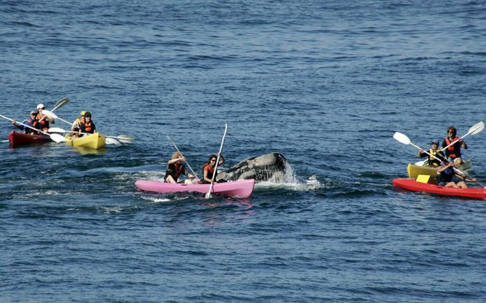 Whale Surfaces Under A Kayak Off The Coast Of South Africa (4 pics)