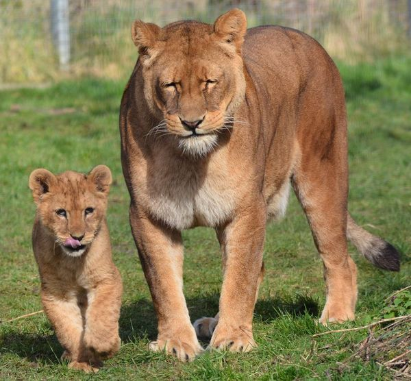Lion Cub Goes For A Walk With The Family For The First Time (13 pics)