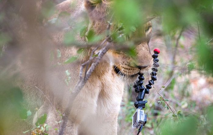 Lion Steals Ranger's GoPro Camera And Tries To Eat It (5 pics)