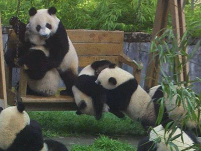 Cute And Clumsy Panda Fails (15 gifs)