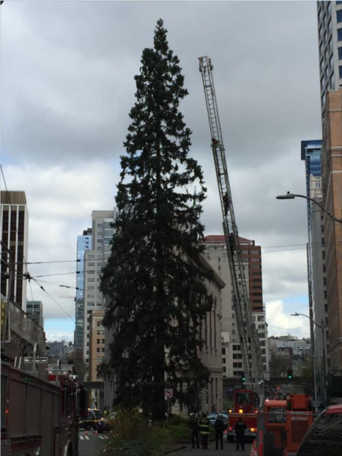 A Man In Seattle Has Climbed An 80-Foot Tree And He Won't Come Down (4 pics)