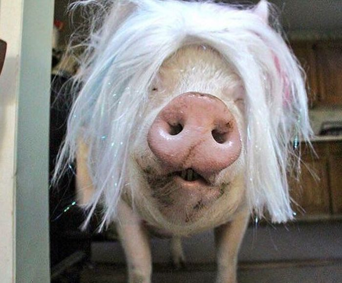 This Pet Pig Has Grown Up To Be A Massive Animal (20 pics)