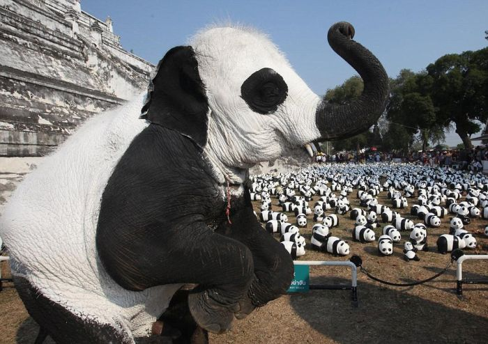 People In Thailand Painted Some Elephants To Make Them Look Like Pandas (5 pics)