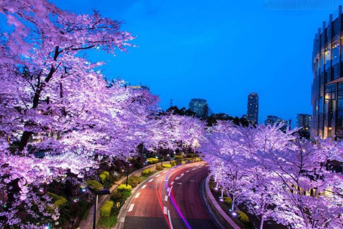 Japanese Flowering Cherry (16 pics)