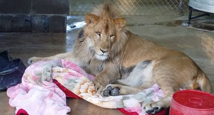 This Lion Just Loves To Snuggle (7 pics)