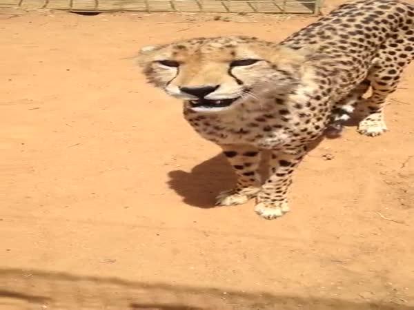 Have You Ever Heard A Cheetah Meow