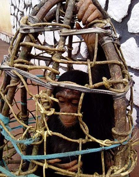 Baby Chimp Too Weak To Walk After Being Set Free (8 pics)